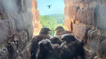 Babyvreugde in kasteel van Gaasbeek: vijf pasgeboren jongen van torenvalk ontdekt