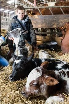 Koeiendrieling geboren in Baarn