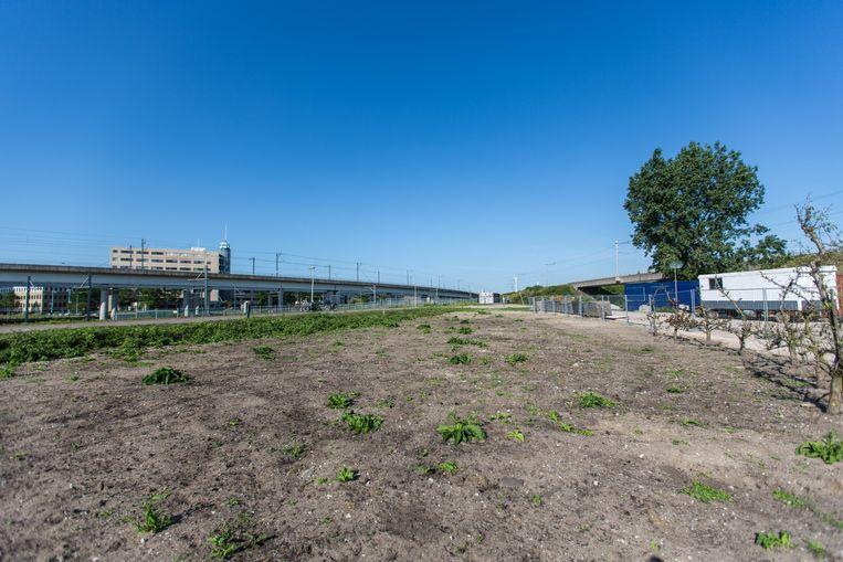 Op het stuk grond bij Sloterdijk zijn al wat druivenranken geplant, bij wijze van proef. In het voorjaar van 2016 moet een wijngaard van 1200 vierkante meter gaan verrijzen. Beeld Eva Plevier