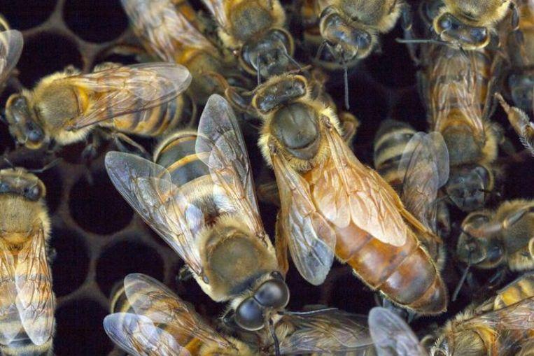Honingbijen Beeld Manuel A. Giannoni-Guzman