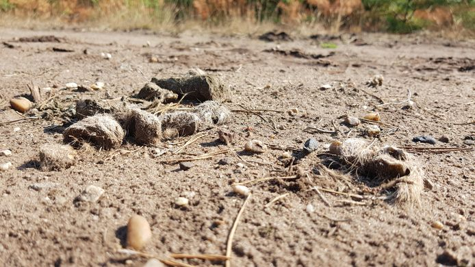 Drollen van wolvin GW998f op de Noord-Veluwe. Ze laat die achter om haar territorium te markeren en een mannetje te laten weten dat zij in dat gebied is.