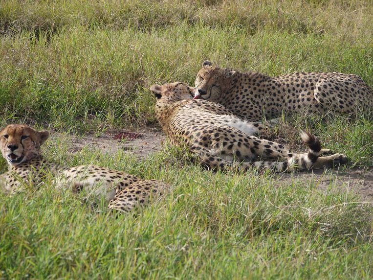 Drie luipaarden van het vijftal dat de vijf musketiers wordt genoemd in het Masai Mara wildpark in Kenia.   Beeld Ilona Eveleens