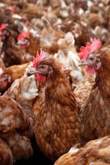Pluimveeorganisaties willen ophokplicht wegens oprukkende vogelgriep uit Oost-Europa