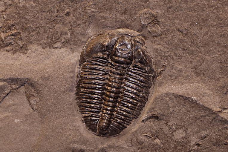 Een fossiel in schalie