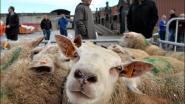 Vereniging voor dierenartsen en Gaia willen in Brussel verbod op onverdoofd slachten