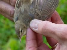 Verkeerde afslag: kleine spotvogel uit Rusland eindigt in de Ooij in plaats van India