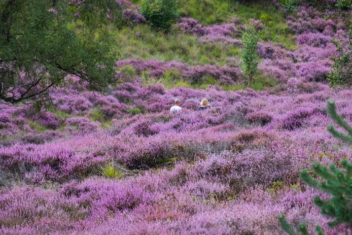 De Mookerheide is bedekt onder een paarse heidedeken.