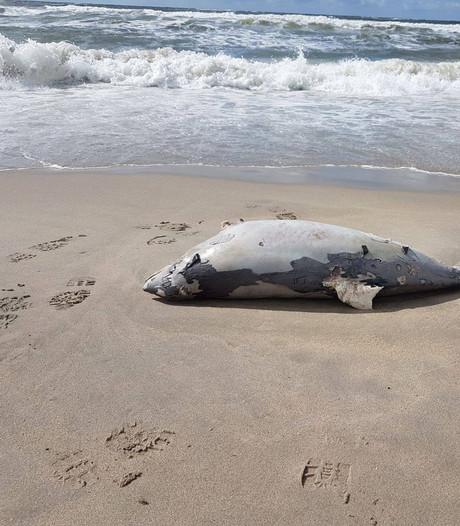 Vijf dode bruinvissen spoelen aan op strand