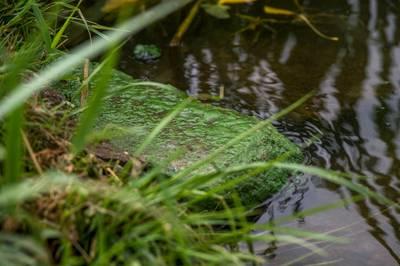 Blauwalg in Appeltern en Alphen, Maasbommel weer schoon