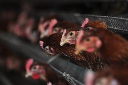 """Ingevoerd kippenvlees levensgevaarlijk: """"Bacteriën zijn resistent tegen alle antibiotica"""""""