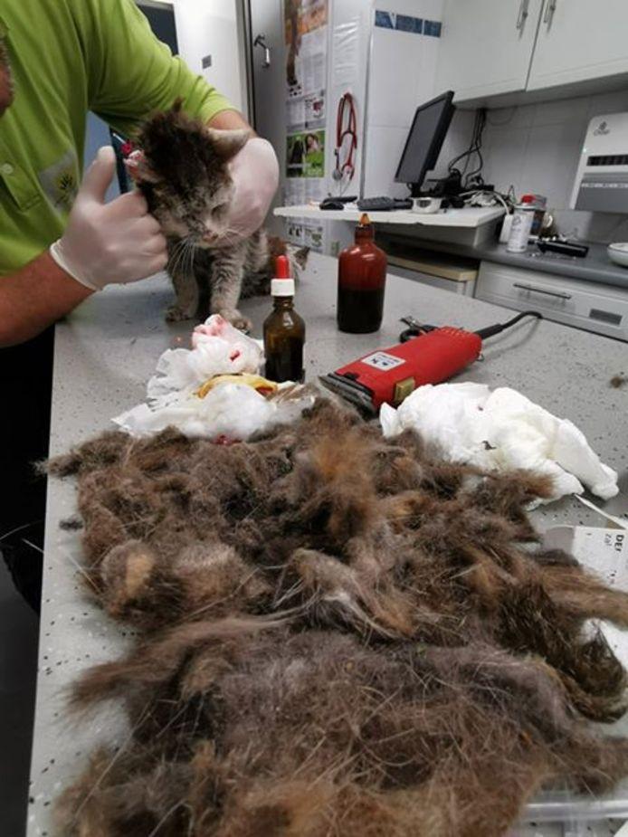 Het katje wordt geschoren. De medewerkers van de kliniek hadden er een flinke klus aan.