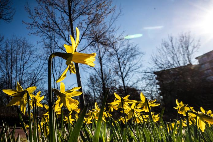 Bloeiende narcissen horen bij mooi lenteweer.