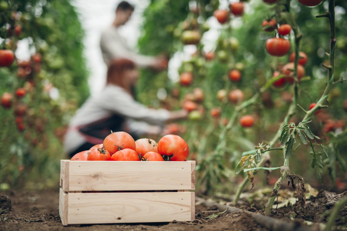 Arbeidsmigranten oogsten tomaten in een kas.