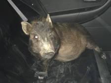 Politie verbijsterd als melding over achtervolgend varken echt waar blijkt