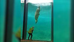 Pairi Daiza stelt nieuwe poolwereld voor met dansende ijsbeer