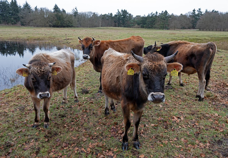 Stieren op boerderij Eykenstein. Beeld null