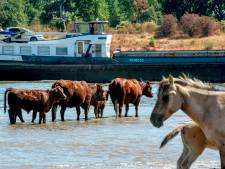 Konikpaarden en Rode Geuzen diep de Waal in