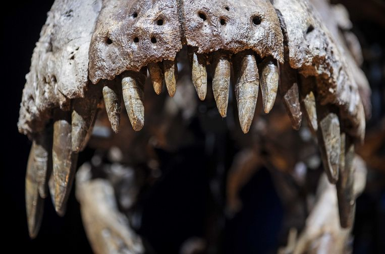 Het skelet van T. rex Trix, opgesteld in een zaal van museum Naturalis. Beeld ANP