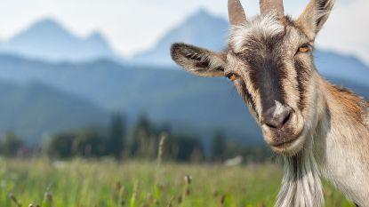 Laat die grasmaaier maar staan: deze vrouw verhuurt haar geiten