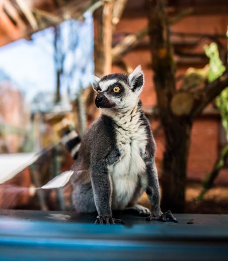 'Madagaskar' opent in Burgers' Zoo