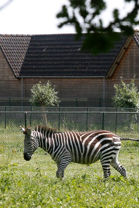 Zebra Congo heeft het heerlijk in Lexmond