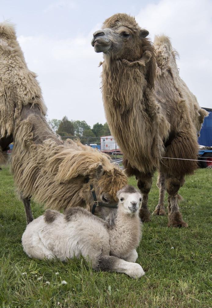 TT-2019-010510 - EIBERGEN - Circus Renz Berlin heeft tenten opgeslagen in Eibergen. kamelenjonkie . veulen kalf kameel Fotobon-nummer: TT-2019-010510 EDITIE: AC FOTO: Frans Nikkels FN20190501