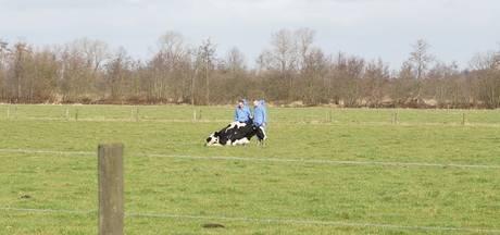 Verwaarloosde koe afgemaakt op Kaatsheuvelse boerderij