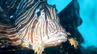 Invasieve koraalduivel begint nu ook Middellandse Zee leeg te vreten