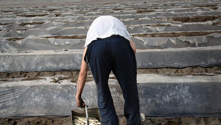 Aspergestekende gastarbeider, 2007. Beeld Marcel van den Bergh / de Volkskrant