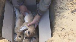 VIDEO. Vier leeuwenwelpen begraven in zoo van Gaza