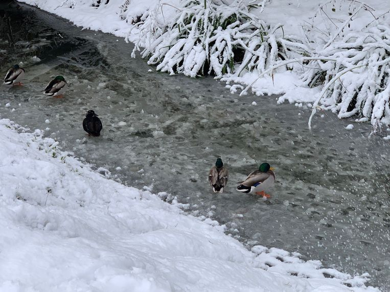 Zwemmen zit er even niet in voor de eendjes.