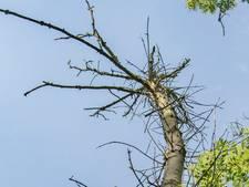 Bomenstichting: kap een es niet te snel
