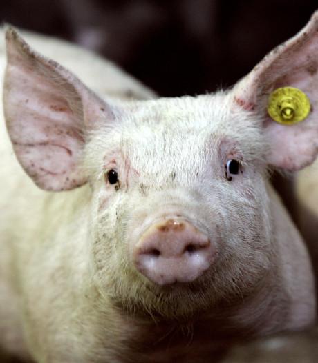 Onvoldoende geld beschikbaar voor ruim 500 varkenshouders die willen stoppen