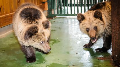 Twee Roemeense weesbeertjes aangekomen in Natuurhulpcentrum