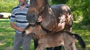 'Boer Flik' viert geboorte van veulen met groot feest