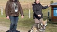 Wolfhond Hummer na 12 dagen terecht: dier zat vast in vossenklem