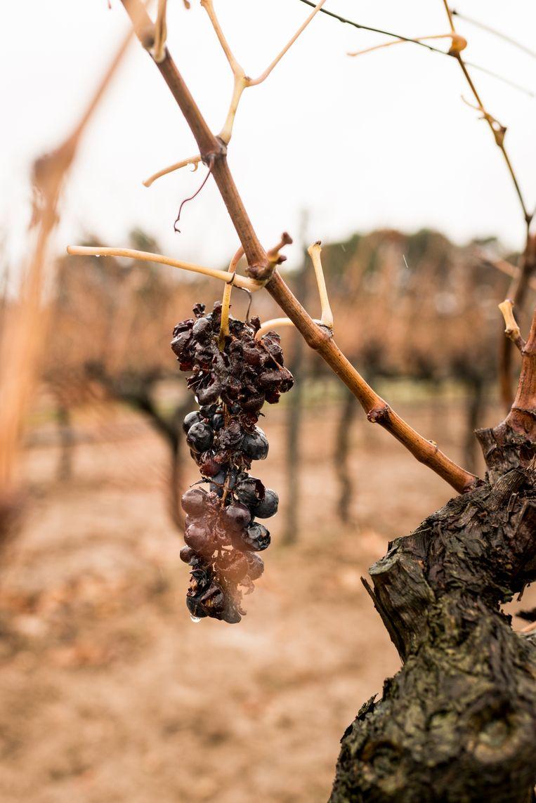 Druiven hebben precies de juiste hoeveelheid warmte en regen nodig. Beeld Eva Faché