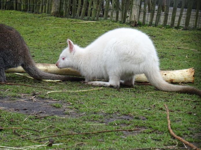 Dit is éénzelfde wallaby zoals is gestolen afgelopen nacht bij de kinderboerderij in Staphorst.