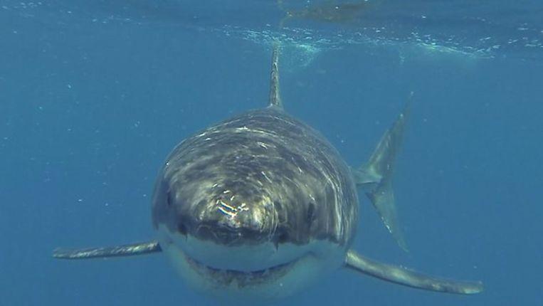 275d73b09356ec Vijf meter lange witte haai zet tanden in vissersbootje | Dieren ...
