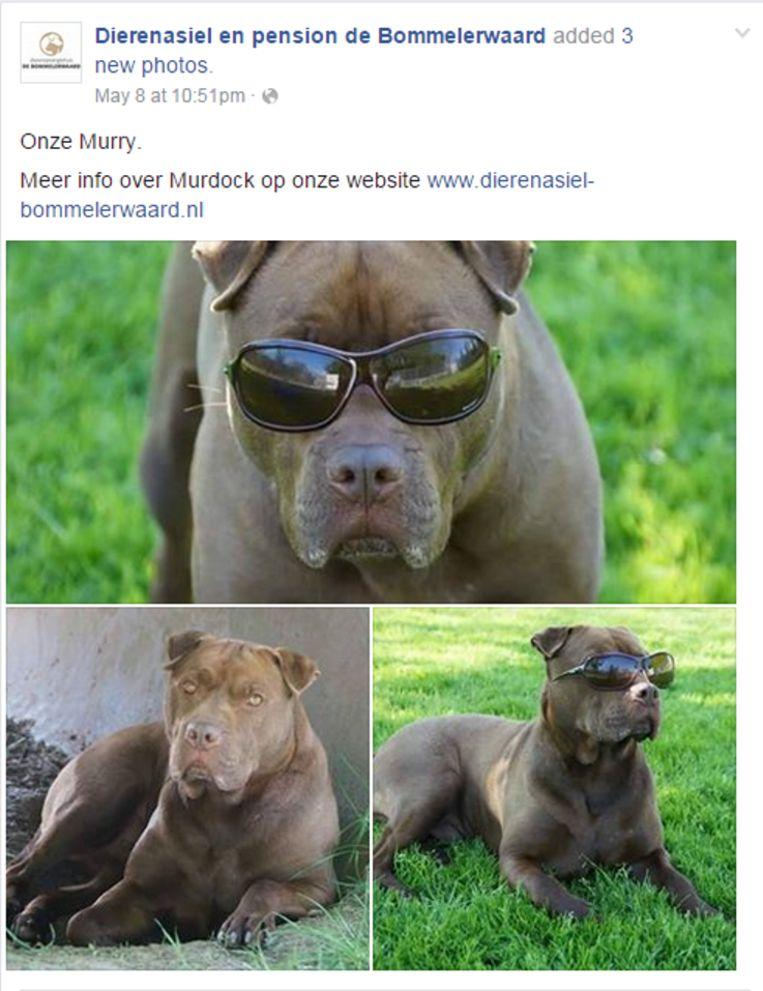 Aandacht op Facebook voor Murdock Beeld Facebook Dierenasiel Bommelerwaard