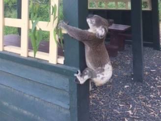 """""""Misselijkmakend"""": reddingswerkers in shock door koala die aan paal werd vastgeschroefd"""