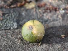 Extra toezicht in Spoorwijk na vondst vruchten met naalden