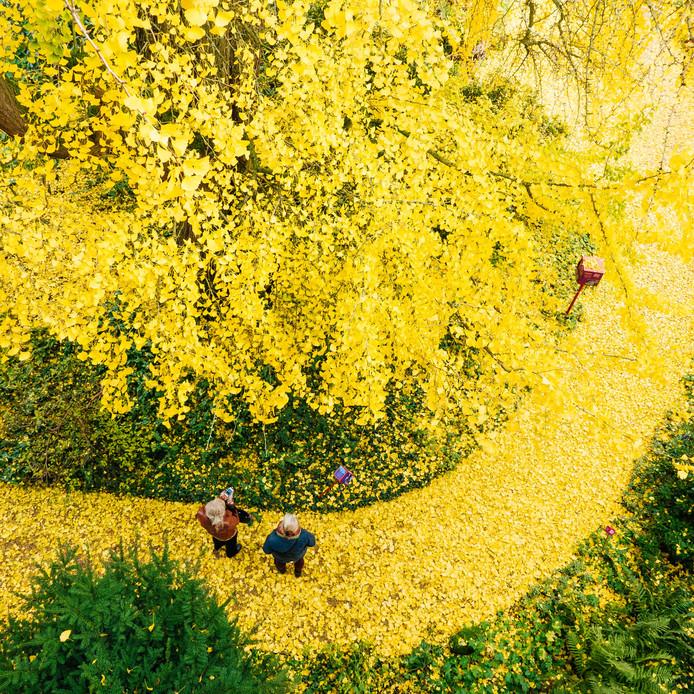 De Japanse notenboom in de Oude Hortus van Utrecht, geplant omstreeks 1770, is de oudste in Europa.