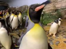 De verzorger met visjes! Blijdorp-pinguïns gaan uit hun dak