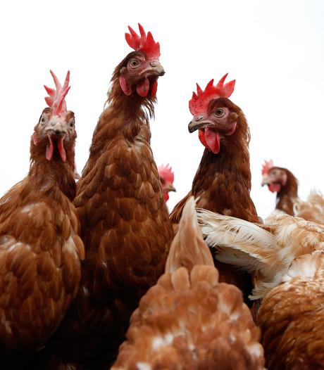 Braziliaans vleesschandaal treft  kippenboeren in hun portemonnee