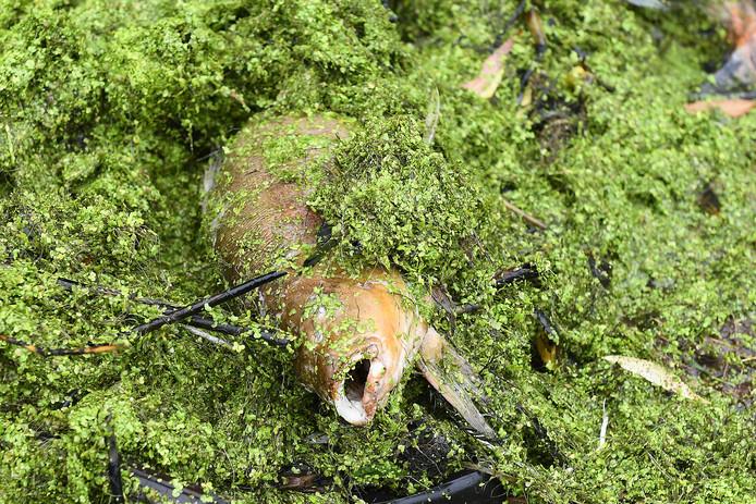 Een van de dode vissen in de vijver in Grave.