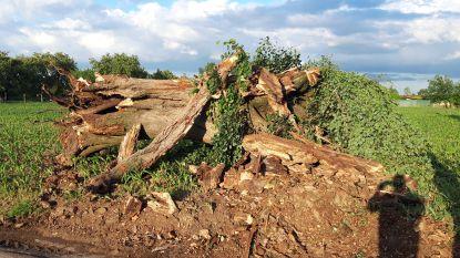 Eeuwenoude linde aan Ossenweg overleeft storm niet