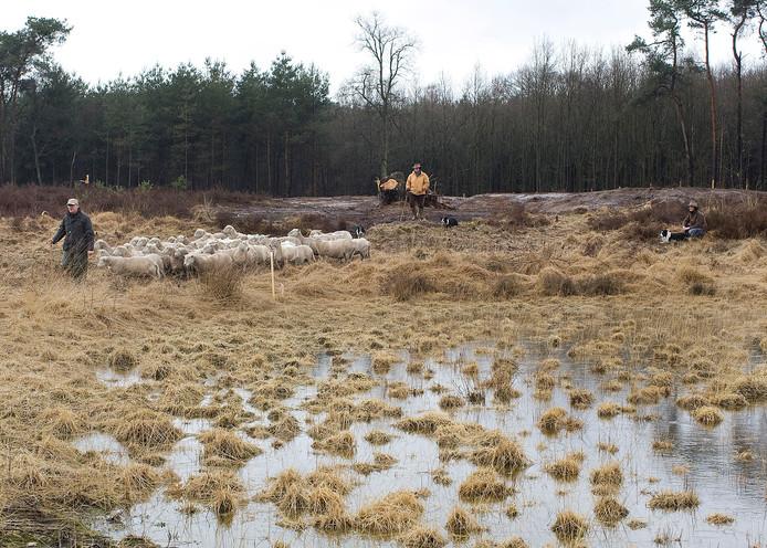 Een deel van het bos in de Vennebulten wordt omgezet in heidelandschap. Archieffoto: Theo Kock