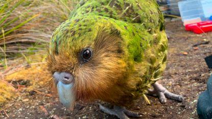 Net gered van uitsterving en alweer met uitsterven bedreigd: schimmelinfectie kan kakapo de kop kosten
