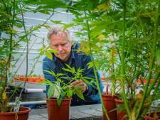Peter Olsthoorn is de enige in Westland die legaal medicinale wietstekken kweekt: 'Als pilletje, olie of in de koffie'